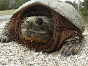 A snapping turtle in Acadia National Park